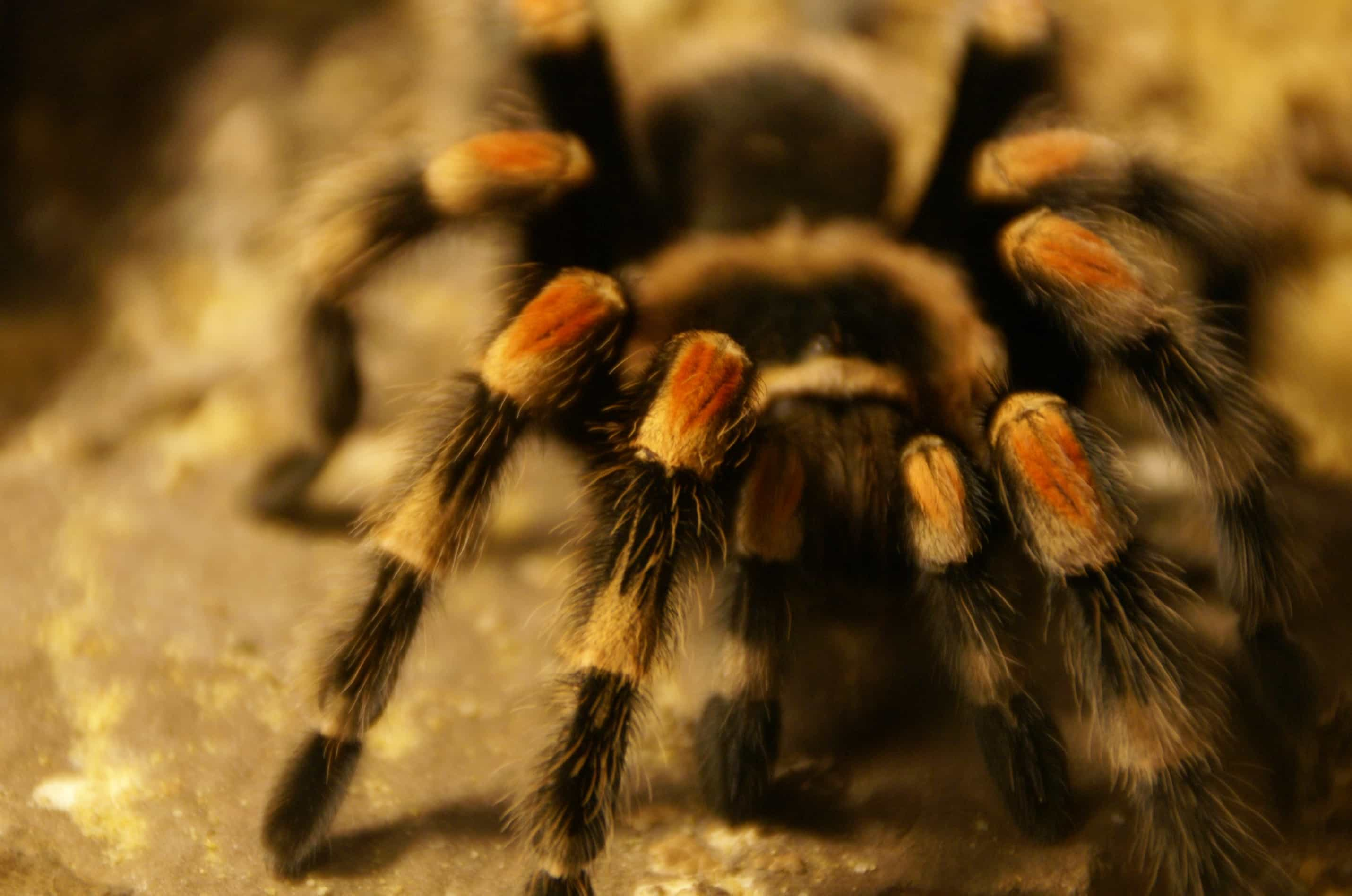 Mexican Red Knee Tarantula (chypelma smithi) - Tarantula ... on map where do tarantula, how long do tarantulas live, map of where camels are from, where do tarantulas live, map where do lizards live on a glass, map of brown recluse spiders in the us, map of arkansas, were tarantula live, map where do praying mantis live, map of mississippi natural resources, maps of where the brown widows live, map of tarantulas in us, map of tarantula hawk wasp,